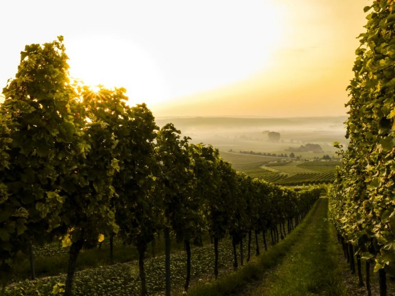 vin & vignoble